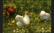 weisses Huhn in Wiese